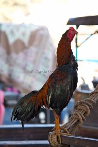 Mangificent Rooster © Carole Scott 2013