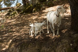 Nanny goat and kids on a neighbour's land